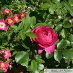 ❤ ❤  Focus sur le rosier 'Toul'