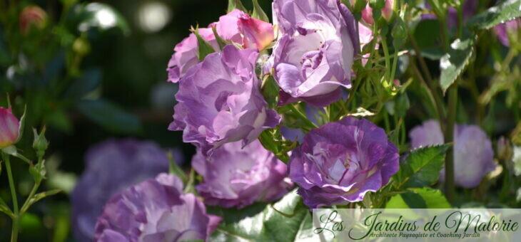 Focus sur le rosier 'Pacific Dream' (syn. 'Blue for You')