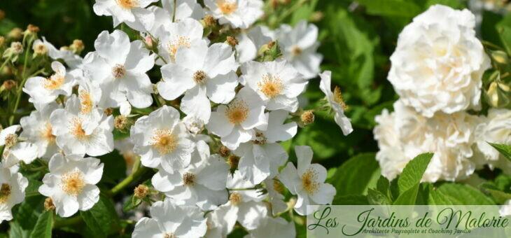 ❤ ❤ ❤  Focus sur le rosier White Magic