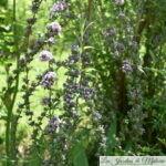 🌳 Buddleia alternifolia, Bel arbre aux papillons