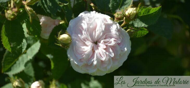 ❤ ❤  rosier 'Félicité Parmentier'
