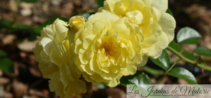 ❤ ❤ ❤ Focus sur le rosier 'Solero', une valeur sûre!