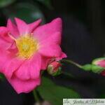 Focus sur le rosier grimpant Rose Bonbon