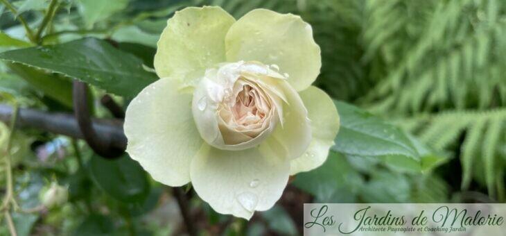 ❤ ❤ ❤ Focus sur le rosier Lovely Green