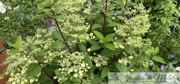 Les indispensables : L'Hydrangea paniculata 'Prim White'