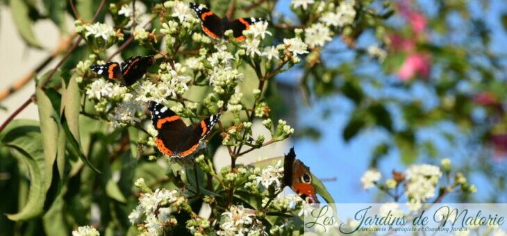 🌳  L'heptacodium était tout en fleurs… et en papillons!